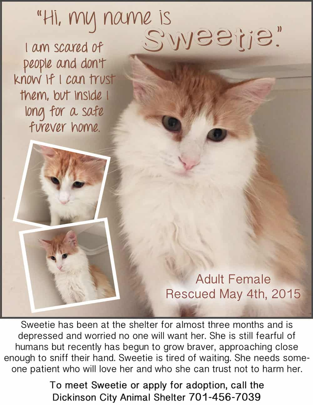older cat Sweetie up for adoption
