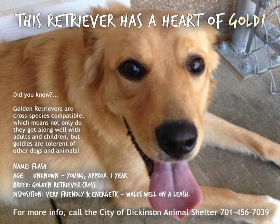 golden retriever adoption poster